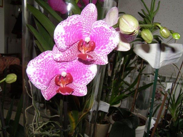 orchidee phalaenopsis phalaenopsis mini pot 14 orchids. Black Bedroom Furniture Sets. Home Design Ideas